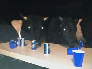 Cows drinking beer