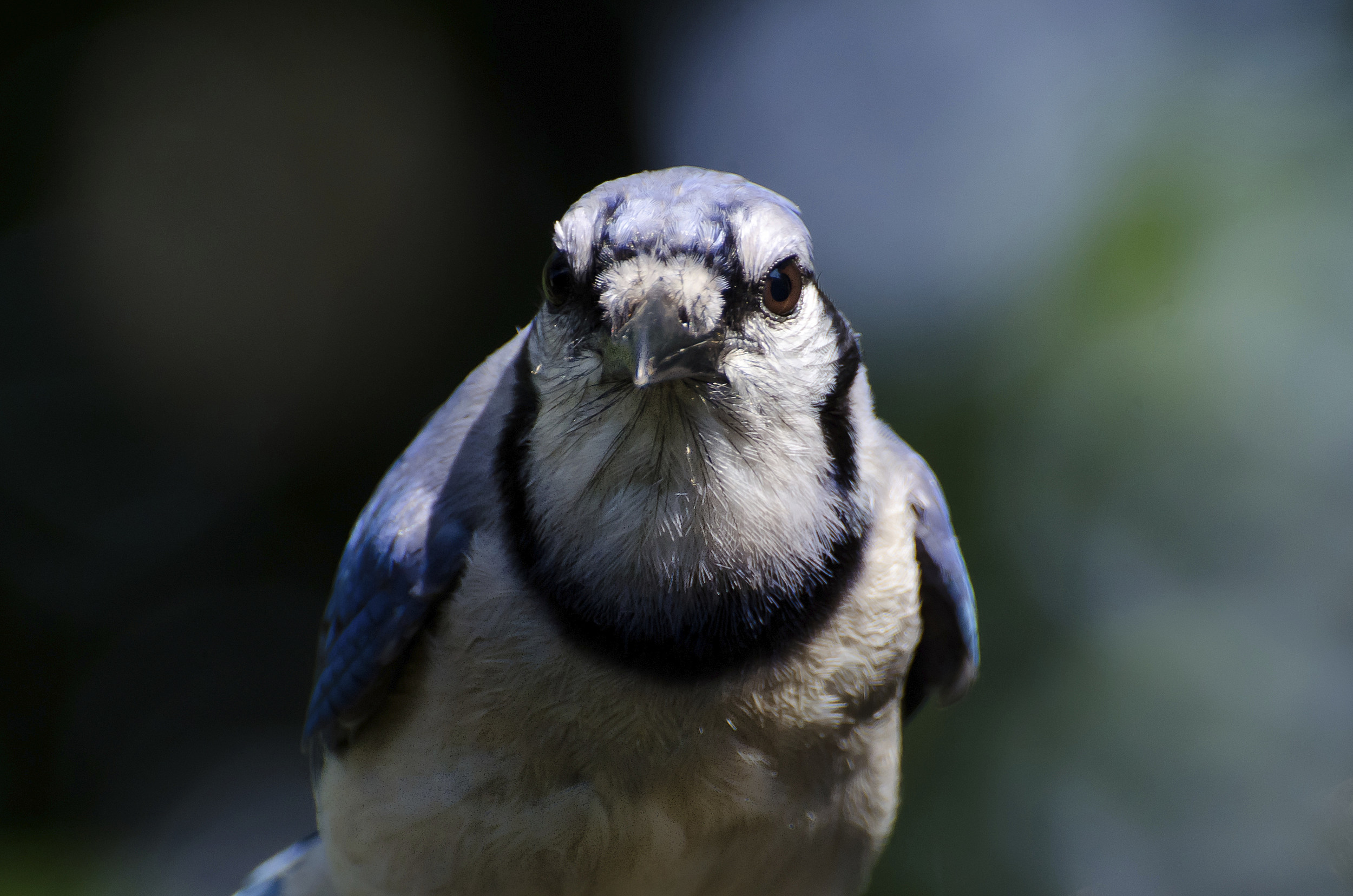 You Have An Aggressive Blue Jay In Your Yard Now What