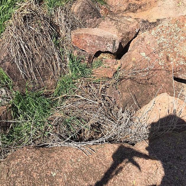 Huge Rattlesnakes in Oklahoma