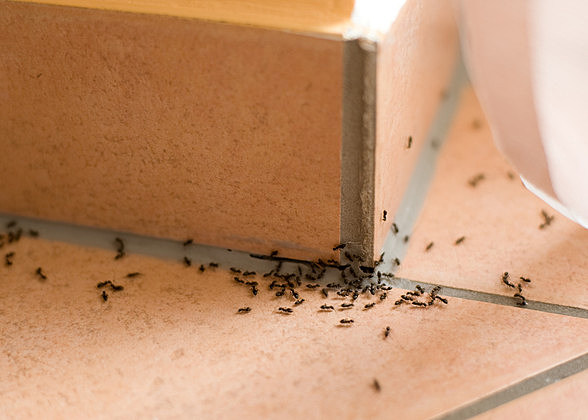 Ants crawling inside of home on the floor